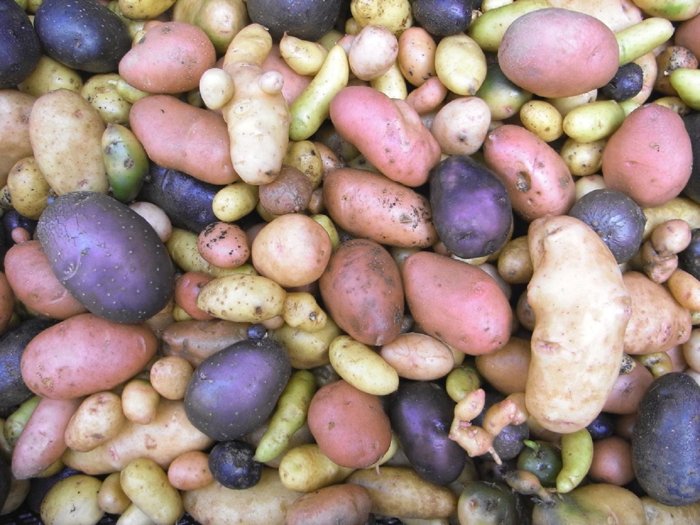 Kartoffelsorten_300dpi_PPT Iris Förster